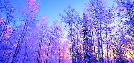 Birch (Betula papyrifera), Spruce (Picea glauca), and Aspen during a winter sunrise