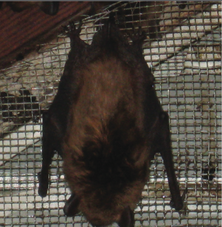 Bats+on+Illinois+Wesleyan+campus+not+significant+cause+for+concern